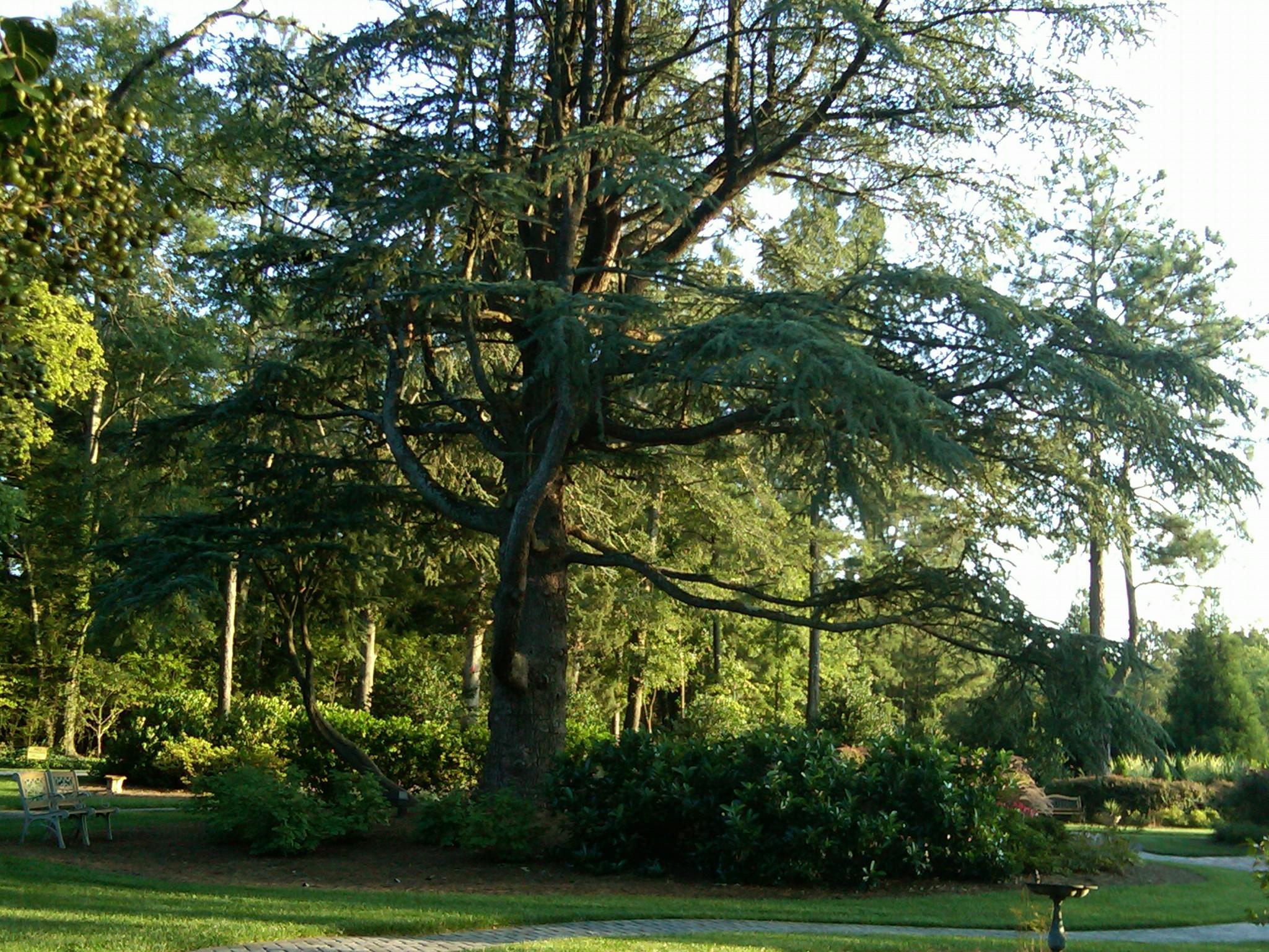 The Beautiful Bald Atlas Cedar Tree